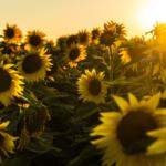 Systém sociálních služeb ve stínu obřích slunečnic